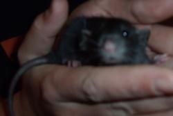 Pinokio, rongeur Rat
