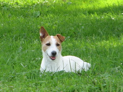 Pinotte, chien Jack Russell Terrier