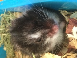 Pinotte, rongeur Hamster