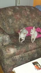Pinotte    ,démonne, chien Chihuahua