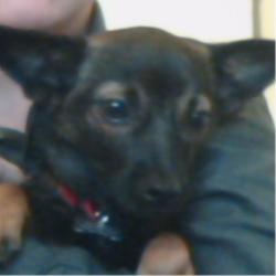 Pinut, chien