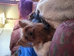 Pinute, chien Yorkshire Terrier