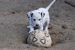 Piol, chien Dalmatien