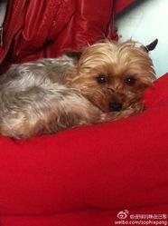 Pipi, chien Yorkshire Terrier