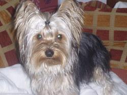 Pipo, chien