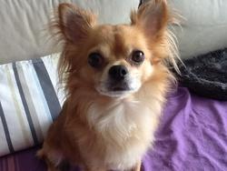 Pipo, chien Chihuahua