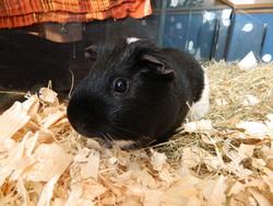 Pipo, rongeur Cochon d'Inde