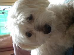 Pipo, chien Bichon maltais