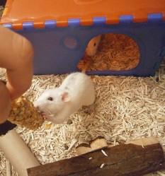 Pippin, rongeur Rat