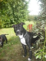 Pippo, chien American Staffordshire Terrier