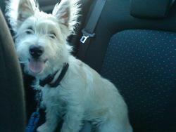 Piran, chien West Highland White Terrier