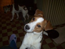 Pirate, chien Jack Russell Terrier