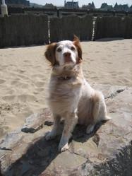 Pirate, chien Épagneul breton