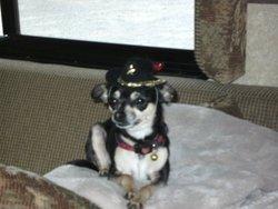 Pirouette, chien Chihuahua