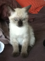 Pirouette, chat Tonkinois