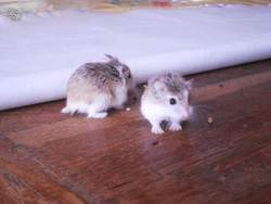 Pirouette Et Cacahuète, rongeur Hamster