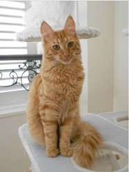 Pistache, chat Angora turc