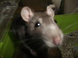 Pistache, rongeur Rat