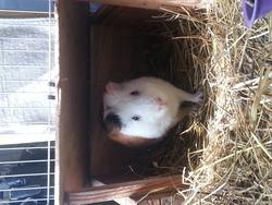 Pistache, rongeur Cochon d'Inde