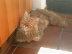 Pistache, chat Selkirk Rex