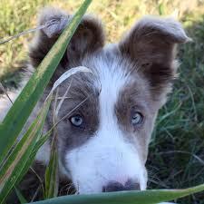 Pistache, chien Berger d'Anatolie