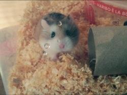 Pistache Au Paradis, rongeur Hamster