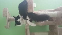Pistouille, chat Norvégien