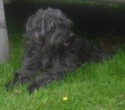 Pit, chien Caniche