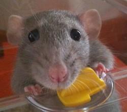 Pita, rongeur Rat