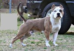Pitboule, chien