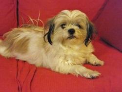 Pitchou, chien Chihuahua