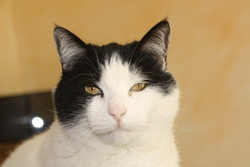 Pitchou, chat Gouttière