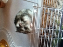 Pitchou, rongeur Hamster