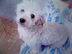 Pitchou, chien Bichon à poil frisé