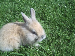 Pitchoune, rongeur Lapin