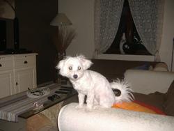 Pitchoune, chien Bichon maltais