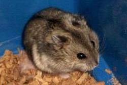 Pitchoune, rongeur Hamster