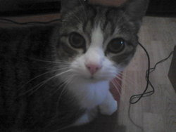 Pitchounette, chat