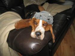 Piteux, chien Basset Hound
