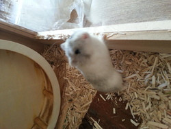 Pitou, rongeur Hamster