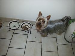Pitou, chien Yorkshire Terrier