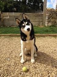 Pitou, chien Husky sibérien