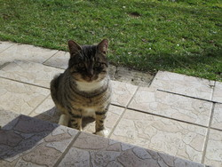 Pitoune, chat Européen