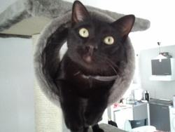 Pitpit, chat Européen