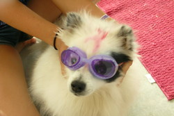 Pitti, chien Spitz allemand