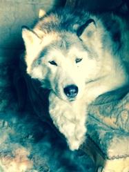 Piwie, chien Husky sibérien
