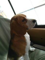 Pixel, chiot Beagle