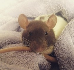 Pixel, rongeur Rat