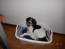 Pixel, chien Beagle