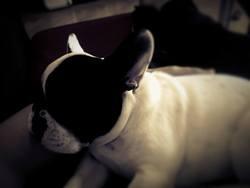Pixel, chien Bouledogue français